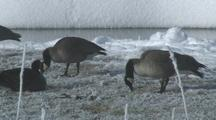 Canada Geese (Branta Canadensis) Feed In Snow Near Steamy River