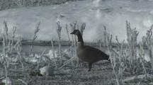 Canada Goose (Branta Canadensis) Walks Through Tall Icy Grass