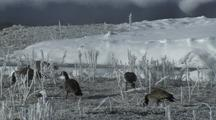 Canada Geese (Branta Canadensis) Graze In Tall Icy Grass Near River