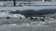 Canada Geese (Branta Canadensis) Graze Near River
