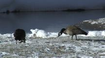 Canada Geese (Branta Canadensis) Graze In Icy Grass Near River