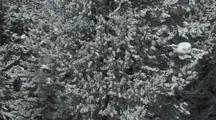 Snow Falling From Pine Trees