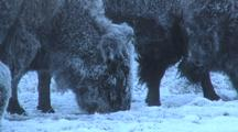 Snow Covered Bison (Bison Bison) Graze In Frozen Grass
