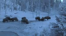 Snow Covered Bison (Bison Bison) Graze Near Steaming Water