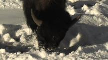 Bison (Bison Bison) Grazes In Snow In Sun