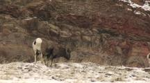 Bighorn Sheep (Ovis Canadensis) Grazes In Patchy Snow