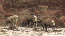 Bighorn Sheep (Ovis Canadensis) Graze And Stand In Patchy Snow