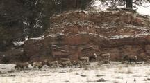 Bighorn Sheep (Ovis Canadensis) Stand And Graze In Patchy Snow