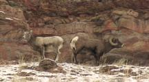 Bighorn Sheep (Ovis Canadensis) Stand In Patchy Snow