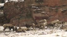 Bighorn Sheep (Ovis Canadensis) Rest And Graze In Patchy Snow