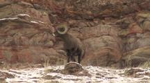 Bighorn Sheep (Ovis Canadensis) Stands On Rock, Moves Through Herd And Lays Down