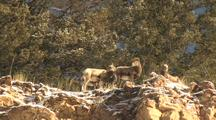 Bighorn Sheep (Ovis Canadensis) Stand On Top Of Cliff In The Sun