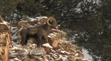 Bighorn Sheep (Ovis Canadensis) Stands On Cliff In The Sun And Walks Down Rocks