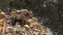 Big Horn Sheep (Ovis Canadensis) Walks Down Rocks