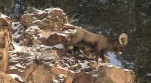 Bighorn Sheep (Ovis Canadensis) Walks Down Rocks
