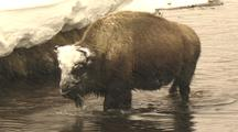 Bison (Bison Bison) Walk Through Water And Graze From Under Snow Bank