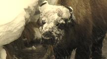 Bison (Bison Bison) Stands In Water And Grazes From Under Snow Bank