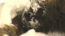Bison (Bison Bison) Grazes From Under Snow Bank