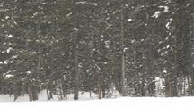Snow Falling In Front Of Pines