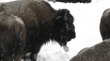 Bison (Bison Bison) Grazes In Snow With Snow Ball On Chin