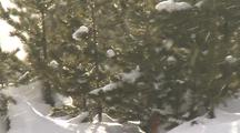 Snow Blows In Front Of Pines