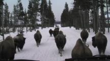 Pov Bison Herd Walks In Front Of Snow Coach