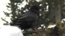 Raven (Common Raven, Corvus Corax) Sits On Branch In Snow