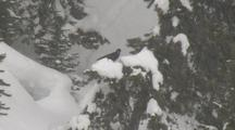 Raven (Common Raven, Corvus Corax) Sits In Tree In Snowfall
