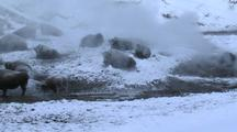 Bison (Bison Bison) Rest In Thermal In Steam And Snow