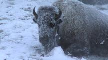 Bison (Bison Bison) Rests In Thermal In Steam And Snow