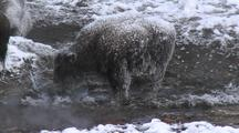 Bison (Bison Bison) Stands In Thermal In Steam And Snow