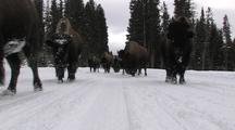 Bison (Bison Bison) Herd Walk Toward Camera On Snowy Road