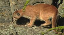 Mountain Lion (Felis Concolor) Sits, Turns Around, Lays Down On Ledge In Sun