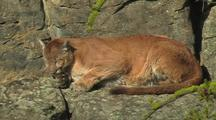 Mountain Lion (Felis Concolor) Rests On Ledge In Sun  With Eyes Closed