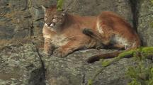 Mountain Lion (Felis Concolor) Rests On Ledge In Sun And Readjusts