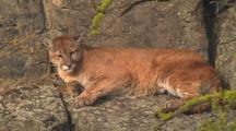 Mountain Lion (Felis Concolor) Rests On Ledge In Sun And Licks Paw