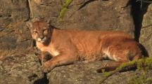 Mountain Lion (Felis Concolor) Rests On Ledge In Sun, Yawns And Licks Paw