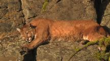 Mountain Lion (Felis Concolor) Rests On Ledge In Sun