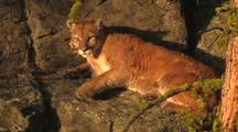 Mountain Lion (Felis Concolor) Rests On Ledge In Sun, Looks, Readjusts