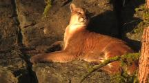 Mountain Lion (Felis Concolor) Rests On Ledge In Sun, Turns Head