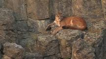 Mountain Lion (Felis Concolor) Rests On Ledge