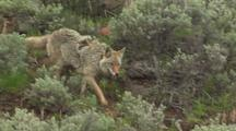 Coyote (Canis Latrans) Trots Through Sage