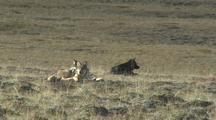 Three Wolves (Gray Wolf, Canis Lupus) Lay In Grass Listening