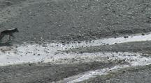 Wolf (Gray Wolf, Canis Lupus) Trots On Gravel Next To River
