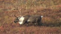 Bull Caribou (Rangifer Tarandus) Walks Through Red Grass