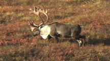 Bull Caribou (Rangifer Tarandus) Walks Through Red Grass