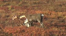 Bull Caribou (Rangifer Tarandus) Grazes In Red Grass