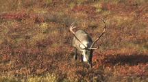 Bull Caribou (Rangifer Tarandus) Grazes In Red Grass And Walks Towards Camera