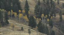Scenic Aspens (Populus Tremuloides) And Pines In A Valley
