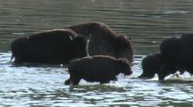 Small Bison Herd (Bison Bison) Swims In River And Walks Out